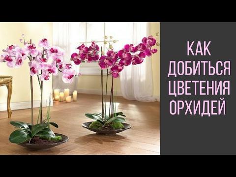 Как Добиться Цветения Орхидей