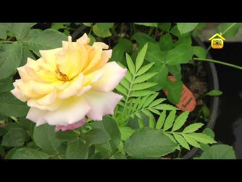 Розы. Посадка и уход // FORUMHOUSE