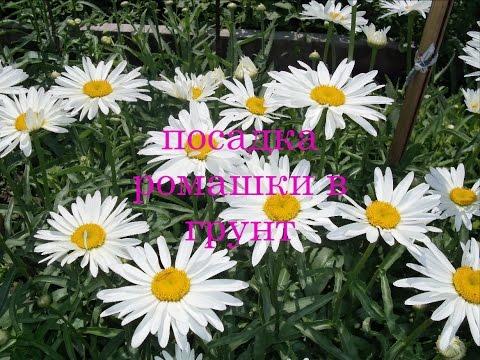 Посадка ромашки крупноцветковой в грунт.