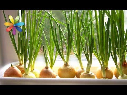 Как собрать максимальный урожай лука у себя на подоконнике? – Все буде добре. Выпуск 781 от 28.03.16