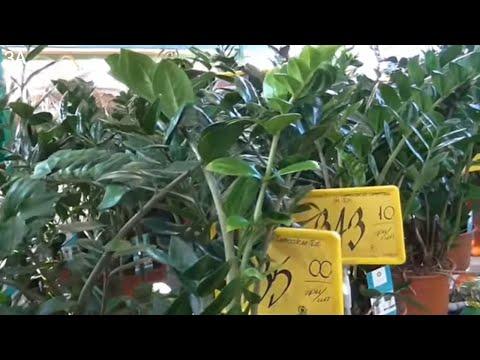 Замиокулькас - долларовое дерево или дерево удачи. Правильный уход.