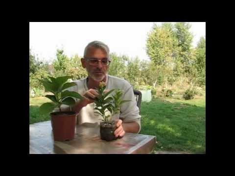 Гортензия крупнолистная. Особенности цветения и ухода.