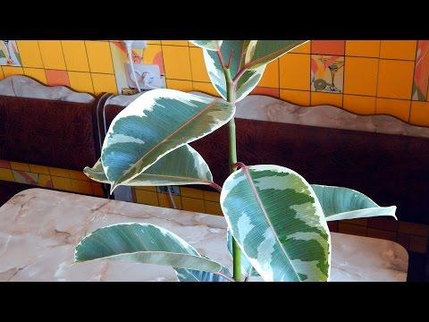 Фикус каучуконосный Тинеке - Популярные комнатные и домашние растения
