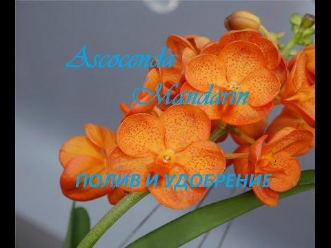 Орхидея: Ванда. Полив и удобрение.
