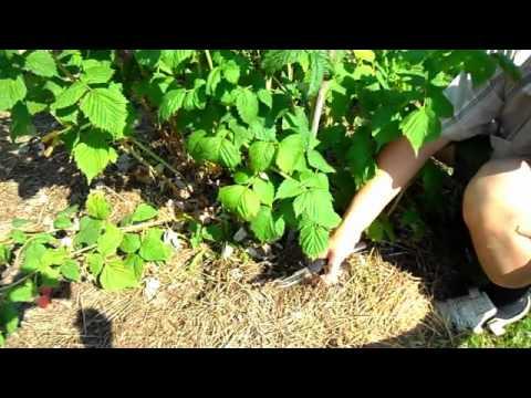 Малина: Уход. Обрезка малины осенью. Как ухаживать за малиной.