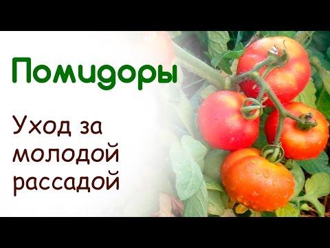 Выращивание рассады помидоров на подоконнике. Уход за молодой рассадой томатов