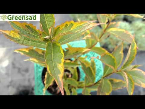 Вейгела цветущая - видео-обзор от Greensad