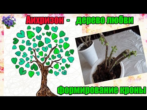 Комнатное растение аихризон(Aichryson) дерево любви после обрезки через 23 дня
