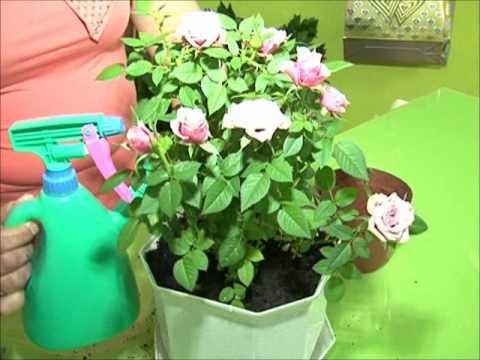 Уход за комнатными розами.wmv