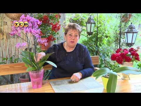 Цветущая орхидея - Цветочная лавка