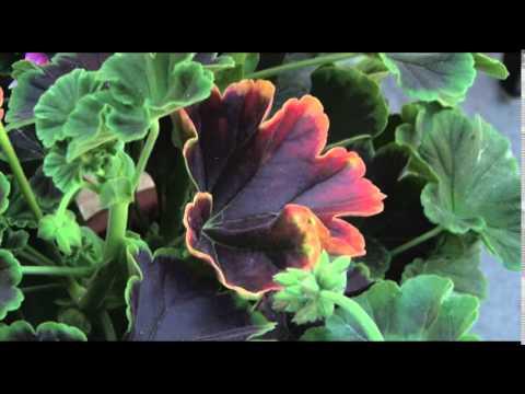 Герань – цветок нашего детства