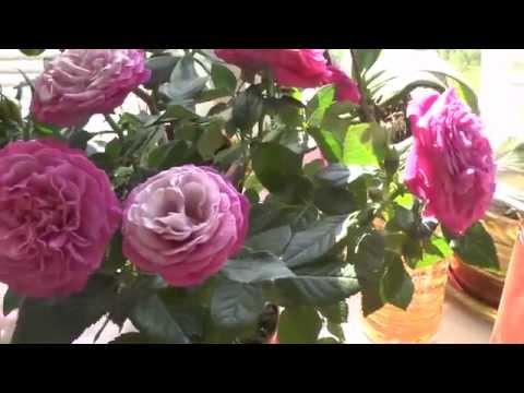 Роза. Комнатные розы Микс Патио, роза Кордана