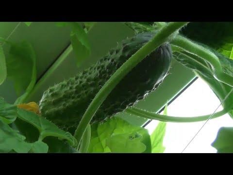 Как вырастить огурцы или огород на подоконнике