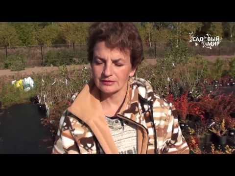 """Осенние кустарники для сада. Барбарис Сайт """"Садовый мир"""""""