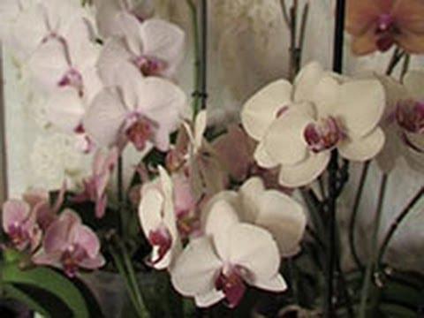 Выращивать орхидею дома – занятие не для ленивых