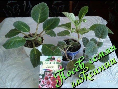 Комнатное растение глоксиния посев семян в домашних условиях
