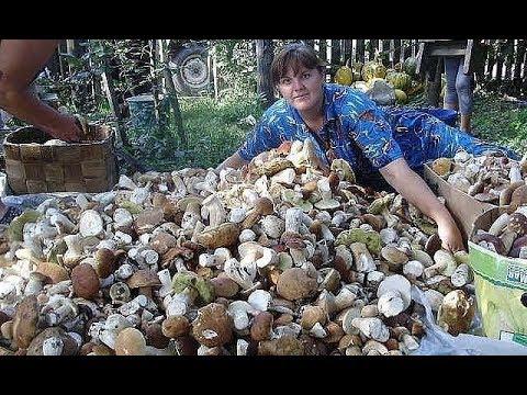 Как вырастить много белых грибов на своем участке (октябрь)