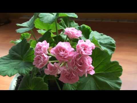 Australian pink rosebud пеларгония