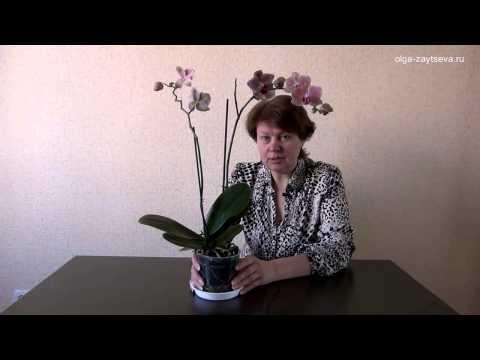 Как заставить цвести орхидею фаленопсис