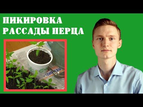 Выращивание ПЕРЦЕВ. ПИКИРОВКА (ПЕРЕСАДКА) рассады ПЕРЦА в отдельные стаканчики
