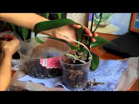Как правильно ухаживать за орхидеей фаленопсис. Пересадка орхидеи