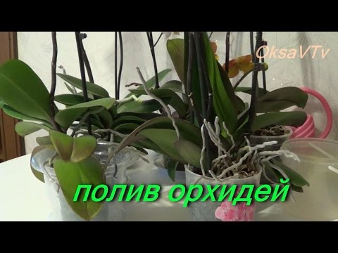 Полив орхидеи, как поливать орхидеи Phalaenopsis. how to water orchids Phalaenopsis