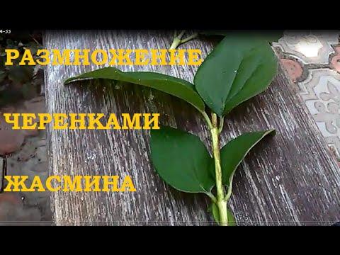 Размножение черенками жасмина.