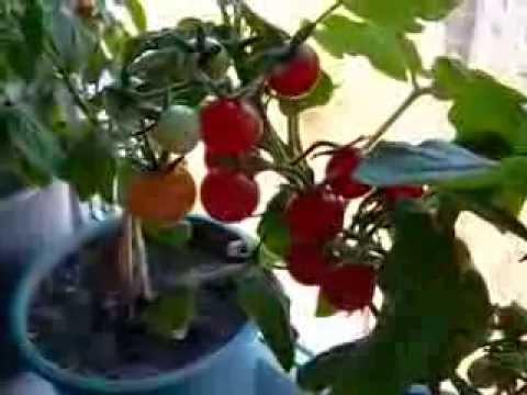 Как выросли на окне помидоры?