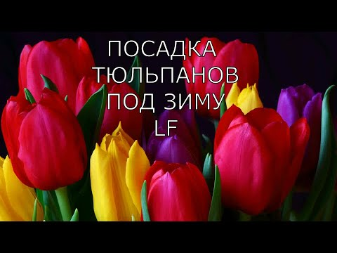 Посадка тюльпанов в грунт под зиму.Когда и как высаживать тюльпаны 🌷 .