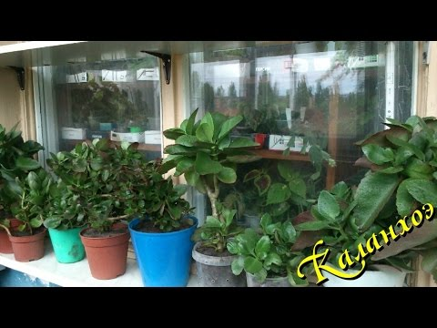 Комнатное растение каланхоэ Блоссфельда в домашних условиях