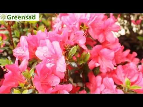 Азалия японская 'Marushka' - видео-обзор от Greensad