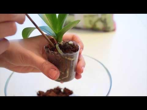 Орхидеи.Пересадка орхидеи. Как пересадить орхидею