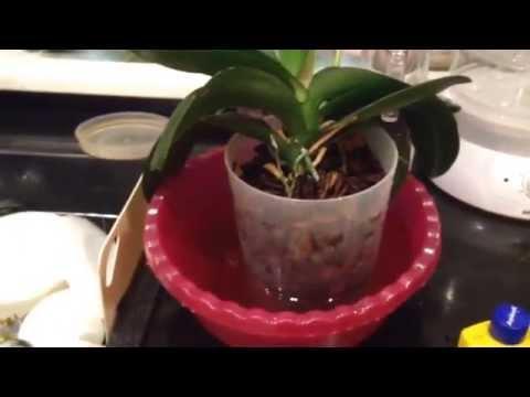 Правильный полив орхидей фаленопсис