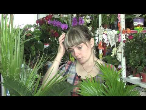 Комнатные пальмы – джунгли в Сибири