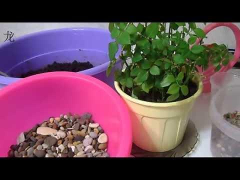 Уход за комнатной розой: пересадка черенков