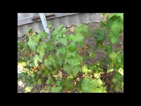 Любимый сад . Осенняя посадка черенков чёрной смородины .