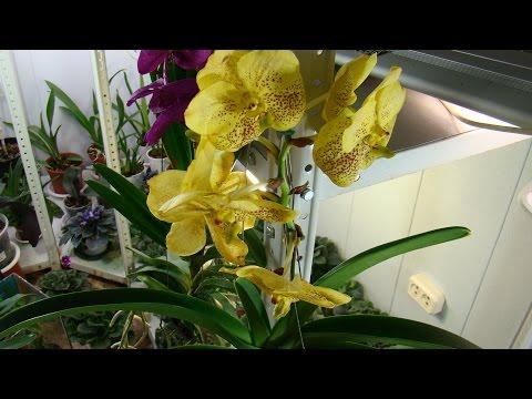 Орхидея Ванда - 2.Уход и полив. Фалинопсис, Мильтония, Дендробиум, Камбрия, Цимбидиум, Пафиопедилум.