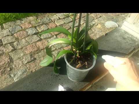 Орхидея ч.1. Мой метод полива орхидеи Удобрения Простые принципы правильного ухода за цветами