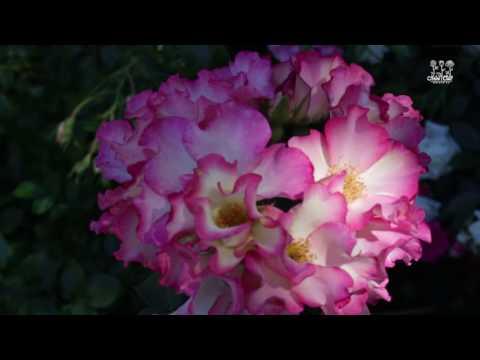 Роза Флорибунда - MoiSad.ua