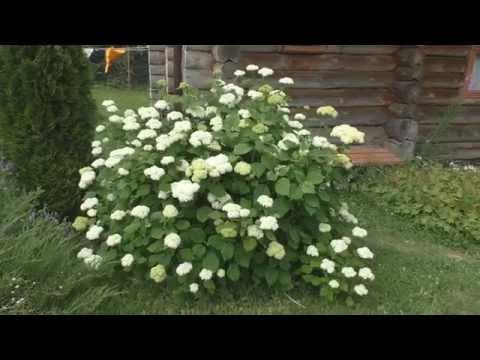 Гортензия древовидная цветет.