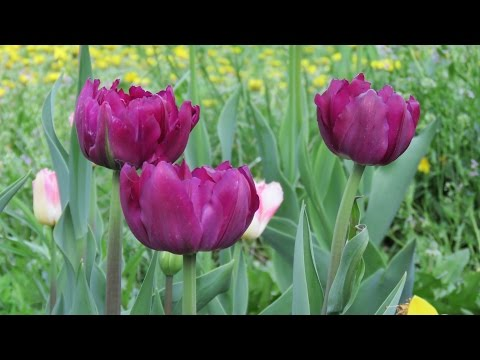 Тюльпаны. Как правильно обрезать после цветения. Tulips.