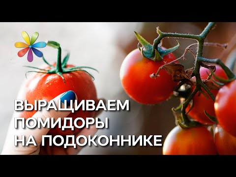 Как сажать помидоры в домашних условиях? – Все буде добре