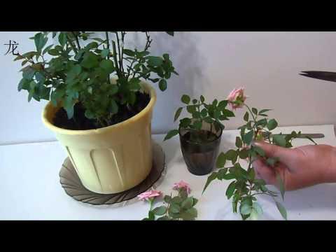 обрезка комнатной розы и размножение розы черенками