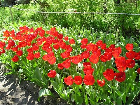 Как правильно посадить тюльпаны. Сайт sadovymir.ru