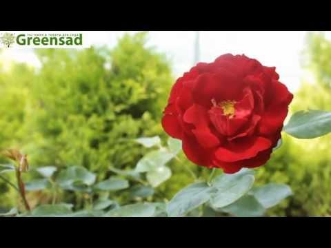 """Роза флорибунда """"Лили Марлен"""" - видео-обзор от Greensad"""