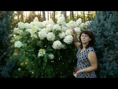 """Гортензии в саду. Гортензия метельчатая """"Phantom""""."""