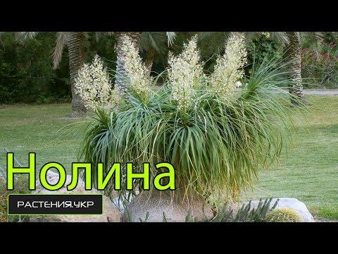 Нолина (бокарнея) или бутылочное дерево уход в домашних условиях / Nolina