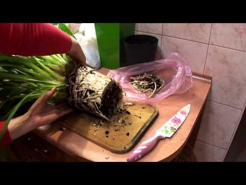Как пересадить орхидею цимбидиум? Делим куст цимбидиума (Cymbidium)