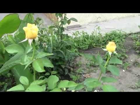 Уход за розой - Удобрение розы и подкормка
