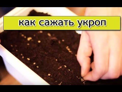 Укроп - посадка укропа, как вырастить укроп